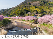 Купить «Sakura and river in kawazu city», фото № 27645745, снято 28 января 2020 г. (c) PantherMedia / Фотобанк Лори