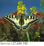 Купить «Schwalbenschwanz, Swallowtail, Papilio machaon, Tagfalter im Frühling auf gelber Blüte», фото № 27649745, снято 23 января 2019 г. (c) PantherMedia / Фотобанк Лори