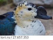 Купить «feather beak feathers waddle cackle», фото № 27657353, снято 18 июня 2019 г. (c) PantherMedia / Фотобанк Лори