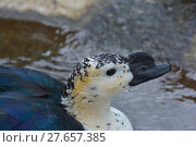Купить «feather beak feathers waddle cackle», фото № 27657385, снято 18 июня 2019 г. (c) PantherMedia / Фотобанк Лори