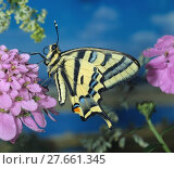 Купить «Südlicher Schwalbenschwanz, Southern Swallowtail, Tagfalter, auf rosa Blüte», фото № 27661345, снято 23 января 2019 г. (c) PantherMedia / Фотобанк Лори