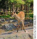 Купить «Red deer (Cervus elaphus). Young female (hind) in forest», фото № 27662829, снято 24 июля 2013 г. (c) Валерия Попова / Фотобанк Лори