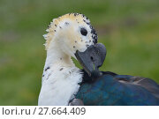 Купить «feather beak feathers waddle cackle», фото № 27664409, снято 18 июня 2019 г. (c) PantherMedia / Фотобанк Лори