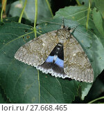 Купить «Blaues Ordensband, grosser seltener Nachtfalter, Blue underwing, Catocala fraxini an Pappelblatt», фото № 27668465, снято 25 июня 2019 г. (c) PantherMedia / Фотобанк Лори
