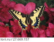 Купить «Schwalbenschwanz, Schwalbenschwanz, Papilio machaon, Old world Swallowtail, auf rosa Azaleenblüten», фото № 27669157, снято 23 января 2019 г. (c) PantherMedia / Фотобанк Лори