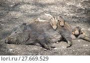 Купить «boar family», фото № 27669529, снято 27 мая 2019 г. (c) PantherMedia / Фотобанк Лори