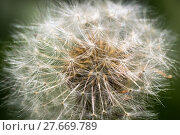 Купить «macro picture of a dandelion clock (taraxacum officinale)», фото № 27669789, снято 16 октября 2018 г. (c) PantherMedia / Фотобанк Лори