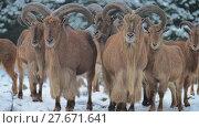 Купить «Barbary sheep (Ammotragus lervia)», видеоролик № 27671641, снято 28 декабря 2017 г. (c) BestPhotoStudio / Фотобанк Лори