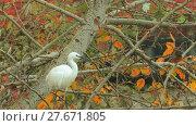 Купить «Little egret (Egretta garzetta)», видеоролик № 27671805, снято 19 декабря 2017 г. (c) BestPhotoStudio / Фотобанк Лори
