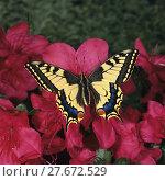 Купить « Schwalbenschwanz, Schwalbenschwanz, Papilio machaon, Old world Swallowtail, auf rosa Azaleenblüten», фото № 27672529, снято 23 января 2019 г. (c) PantherMedia / Фотобанк Лори