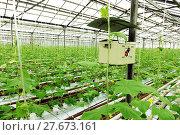 Купить «Growing cucumbers in a greenhouse», фото № 27673161, снято 5 февраля 2018 г. (c) Андрей Шалари / Фотобанк Лори