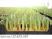 Купить «Agribusiness greenhouse seedling spring», фото № 27673197, снято 5 февраля 2018 г. (c) Андрей Шалари / Фотобанк Лори