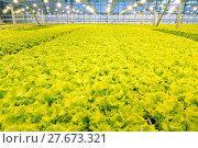 Купить «Growing cucumbers in a greenhouse», фото № 27673321, снято 5 февраля 2018 г. (c) Андрей Шалари / Фотобанк Лори