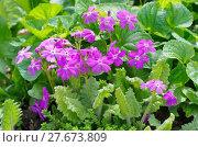 Купить «Примула кортузовидная (лат. Рrimula cortusoides L.) в саду», эксклюзивное фото № 27673809, снято 26 мая 2017 г. (c) Елена Коромыслова / Фотобанк Лори