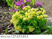 Купить «Примулы цветут на клумбе», эксклюзивное фото № 27673813, снято 27 мая 2017 г. (c) Елена Коромыслова / Фотобанк Лори