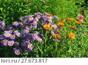 Купить «Мелколепестник (лат. Erigeron) и календула (лат. Calendula officinalis) в саду», эксклюзивное фото № 27673817, снято 24 июля 2017 г. (c) Елена Коромыслова / Фотобанк Лори