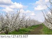 Купить «Flowering plum garden», фото № 27673937, снято 26 июня 2019 г. (c) PantherMedia / Фотобанк Лори