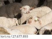 Купить «Flock of lambs», фото № 27677893, снято 18 марта 2018 г. (c) PantherMedia / Фотобанк Лори