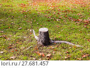 Купить «Short tree stump on grass and leaves in fall.», фото № 27681457, снято 22 января 2019 г. (c) PantherMedia / Фотобанк Лори