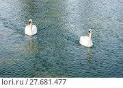 Купить «Two adult mute swans approaching on water.», фото № 27681477, снято 20 июня 2019 г. (c) PantherMedia / Фотобанк Лори