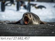 Купить «Antarctic fur seal yawns on sandy beach», фото № 27682457, снято 23 февраля 2019 г. (c) PantherMedia / Фотобанк Лори