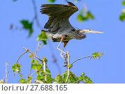 Купить «Great Blue Heron Perched In The Wind Surfing», фото № 27688165, снято 25 июня 2019 г. (c) PantherMedia / Фотобанк Лори