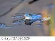 Купить «Moor frogs on the lake », фото № 27690529, снято 22 июля 2019 г. (c) PantherMedia / Фотобанк Лори