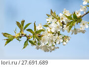 Купить «blossom of the pear tree / blossom of pear», фото № 27691689, снято 9 декабря 2018 г. (c) PantherMedia / Фотобанк Лори