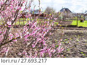 Купить «blossoming peach tree and plowed garden in spring», фото № 27693217, снято 16 июля 2018 г. (c) PantherMedia / Фотобанк Лори