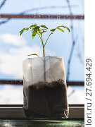 Купить «shoot of tomato plant in plastic tube on sill», фото № 27694429, снято 29 марта 2020 г. (c) PantherMedia / Фотобанк Лори