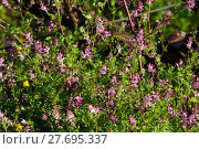 Купить «fumaria (fumaria spec.)», фото № 27695337, снято 24 июня 2019 г. (c) PantherMedia / Фотобанк Лори