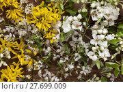 Купить «Forsythien und  Apfelbaumblüten auf Hintergrund aus Holz als Stillleben », фото № 27699009, снято 23 мая 2019 г. (c) PantherMedia / Фотобанк Лори