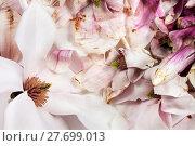 Купить «Frische und verwelkte Magnolienblüten auf weissem Hintergrund», фото № 27699013, снято 25 мая 2019 г. (c) PantherMedia / Фотобанк Лори