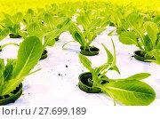 Купить «Growing cucumbers in a greenhouse», фото № 27699189, снято 5 февраля 2018 г. (c) Андрей Шалари / Фотобанк Лори