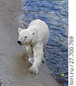 Купить «Polar bear near water», фото № 27700769, снято 8 июля 2013 г. (c) Валерия Попова / Фотобанк Лори