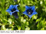 Купить «Trumpet gentiana blue spring flower in garden», фото № 27708837, снято 16 декабря 2018 г. (c) PantherMedia / Фотобанк Лори