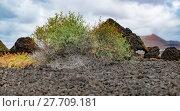 Купить «shrub-thorn in the beautiful volcanic areas of lanzarote», фото № 27709181, снято 19 октября 2018 г. (c) PantherMedia / Фотобанк Лори