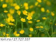 Купить «marsh-marigold first yellow flowers spring», фото № 27727337, снято 23 июля 2019 г. (c) PantherMedia / Фотобанк Лори