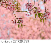 Купить «Wild Himalayan cherry blossom», фото № 27729789, снято 24 апреля 2018 г. (c) PantherMedia / Фотобанк Лори