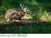 Купить «Brown hare (Lepus europaeus)», фото № 27730621, снято 18 июля 2018 г. (c) PantherMedia / Фотобанк Лори