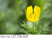 Купить «adonis vernalis adonisröschen frühlingsadonis frühlingsadonisröschen», фото № 27730929, снято 25 мая 2018 г. (c) PantherMedia / Фотобанк Лори
