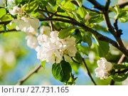 Купить «Spring flowers of blooming apple tree. Natural spring floral background in soft tones», фото № 27731165, снято 4 июня 2017 г. (c) Зезелина Марина / Фотобанк Лори