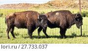 Купить «Buffalo of Oklahoma.», фото № 27733037, снято 16 января 2019 г. (c) PantherMedia / Фотобанк Лори