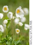 Купить «anemone anemoneae hahnenfußartige hahnenfußgewächse ranunculaceae», фото № 27733165, снято 20 апреля 2019 г. (c) PantherMedia / Фотобанк Лори