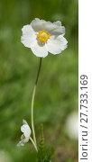 Купить «anemone anemoneae hahnenfußartige hahnenfußgewächse ranunculaceae», фото № 27733169, снято 20 апреля 2019 г. (c) PantherMedia / Фотобанк Лори