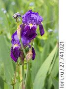 Купить «blue iris irises deutsche schwertlilie», фото № 27741021, снято 24 февраля 2018 г. (c) PantherMedia / Фотобанк Лори