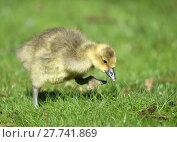 Купить «chick goose brant graugans graugansküken», фото № 27741869, снято 27 мая 2019 г. (c) PantherMedia / Фотобанк Лори