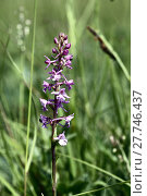 Купить «knabenkraut (orchis spec.)», фото № 27746437, снято 24 июня 2019 г. (c) PantherMedia / Фотобанк Лори