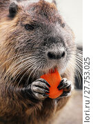 Купить «eating eat carrot nibbling nutria», фото № 27753025, снято 23 апреля 2019 г. (c) PantherMedia / Фотобанк Лори
