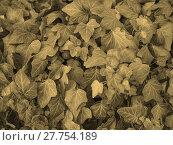 Купить «Ivy leaves sepia», фото № 27754189, снято 22 сентября 2019 г. (c) PantherMedia / Фотобанк Лори
